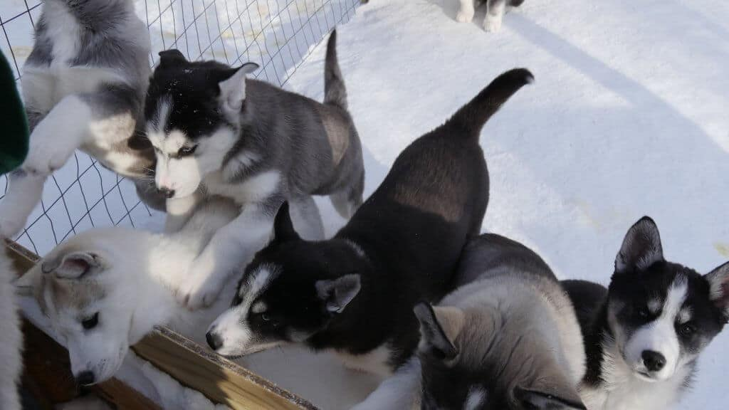 Meet the newest team of sled dogs at Snowy Plains Kennel.